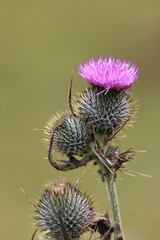 O Flower of Scotland - IMG_7910 (406highlander) Tags: thistle scottish scotland skye flower macro sigma120400mmf4556apodgos asteraceae prickles spearthistle cirsiumvulgare canoneos1300d plant canoneosrebelt6 rebelt6 eos1300d 1300d