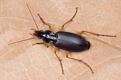 Dolichus halensis (NakaRB) Tags: 2017 insecta coleoptera carabidae dolichushalensis
