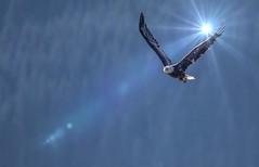 The Majestic Flight of the Bald Eagle (Airborne Guy) Tags: alaska eagle baldeagle flight fly grace majestic