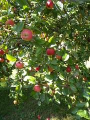 20180916_Mohndorf_005 (Tauralbus) Tags: armschlag mohndorf niederösterreich loweraustria waldviertel apfel apple frucht fruit obst apfelbaum