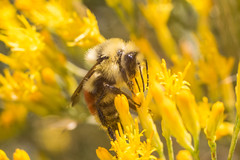 Bumblebee (benakersphoto) Tags: nikon minolta md minoltamd bumblebee bee insect macro flower nature naturephotography natural wildlife