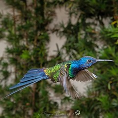 _RSP4500-2 (Roger Hummingbirds) Tags: animal nature bird birds colibri wildlife hummingbird wings flight feeder flower nectar south america rain forest color colorful colour fly flying spread blue green delicate flora floral beauty inflight ornithology wild brazil beijaflor tesourinha kolibrie feathers outdoor verde azul natureza do sul vôo voando delicado flores