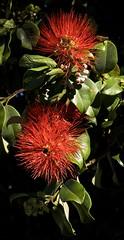 Banksia Bees (Padmacara) Tags: australia fremantle g11 shadowlight flower plant banksia leaf bee red green