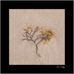 Lone tree #1 (Simon Caplan) Tags: foundstilllife detail beach fragment sand flatlay nature sea sealife seaweed