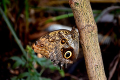 owl butterfly (Caligo memnon) (Tryppyhead) Tags: butterfly butterflies lepidoptera london 2018 summer southeastlondon lewisham hornimanmuseum nikond7200 photomatixpro paintshoppro insect beauty