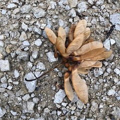 Fall is on its/my Way (Rosmarie Voegtli) Tags: hiking dornach autumn fall seed samen pebbles morningwalk 115picturesin2018 105 autumnfallcolour