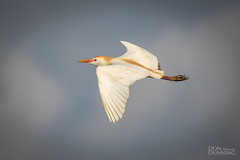 Cattle Egret in Breeding Plumage (Bubulcus ibis) (Don Dunning) Tags: anahuacnwr animals birds bubulcusibis canon7dmarkii canonef100400mmf4556lisiiusm cattleegret chambers egret flight nationalwildliferefuge texas unitedstates