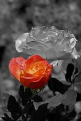 Rose  (v1) (Ellenore56) Tags: 26082018 rose rosenzauber edelrose kletterrose orange rosenblüte rambler floribunda ramblerrose duft smell flavor odor perfume blüte flower blütenzauber magicflower flowers bloom blossom botanik botanical pflanze plat florescence flora pflanzenwelt garten garden sonntag sunday sonne sun blütenpracht natur nature emotion flowerpower detail moment augenblick sichtweise perception perspektive perspective reflektion reflection reflexion farbe color colour licht light inspiration imagination faszination magic magical sonyslta77 ellenore56 selektiv selective selekt variante variation bworange schwarzweisorange
