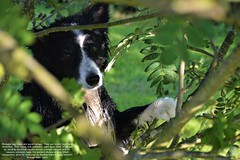 Going Back to my Roots (ASHA THE BORDER COLLiE) Tags: trees mountain asha quotes inspirational beautiful soulful ashathestarofcountydown border collie connie kells county down photography