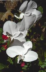 white beauty (omnia_mutantur) Tags: fiore flor fleur orchidea bianco branco white blanc natura natureza naturaleza jardinibotaniquededeshaies deshaies guadeloupe guadalupa antilles antille antillas caraibi caribe caribbean france francia frança 972 caraïbes petali petals orquídea orquidée pétalas pétales pétalos