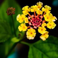 the experiment (m_big_b) Tags: closeup lantana flower