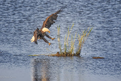 Landing on a Small Island (dngovoni) Tags: action background bird bombayhook delaware eagle raptor summer water wildlife