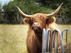 Does this remind you of anyone (peggy wein) Tags: highlandcow eating hay fieldfur feeding brown horns cow