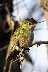 Picaflor chico (Sephanoides Sephanoides). (Andres Bertens) Tags: olympusem10markii olympusm75300mmf4867ii rawtherapee 2183 picaflor hummingbird sephanoides