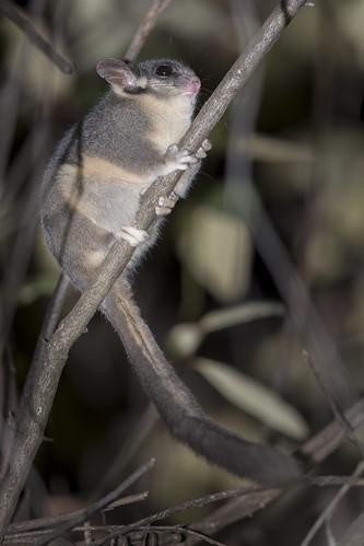 Leadbeater's Possum - Gymnobelideus leadbeateri