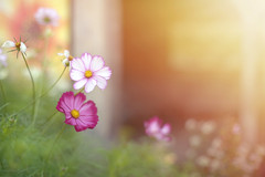 September Mornings... (KissThePixel) Tags: september septembersun sun sunlight sunrise septembermornings morning cosmos pink flower flowers pinkflowers bokeh bokehlicious beautiful beautifulday nikon nikondf macro 50mm nikkor 12 f12 primelens