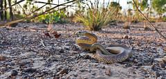 Northern brown snake (Pseudonaja nuchalis) (Phillmangion) Tags: brownsnake snake venom venomous elapid darwin darwinnt nt ntaustralia snakes reptile reptiles herp herpetofauna