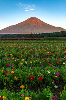 Fuji and Zinnia in the morning