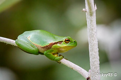 Rainette verte (Hyla arborea) (Dicksy93) Tags: img6649 rainette verte arboricole hylaarborea grenouille frog green animal nature faune batracien amphibien hylidés kikker rana frosch yeux patte branche billebaude tiere wildlife extérieur outdoor hillion côtes darmor 22 breizh bzh bretagne brittany france europe dicksy93 catherine olivier canon eos 7d ef100mm f28 macro usm