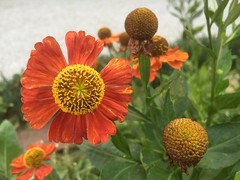 GOING TO SEED...   like all of us (Sergio Savioli) Tags: heleniumautumnale gewöhnlichesonnenbraut sneezeweed transition cuira coire coira chur fontanapark gotothedogs hittheskids gotopot wither decline aging decadence flower seed zinnia deterioration sergiosavioli