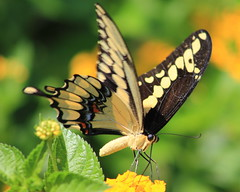 Swallowtail butterflies (im2fast4u2c) Tags: swallowtail butterflies family papilionidae insect wildlife animal bug