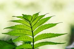 Leafy Green. (Omygodtom) Tags: existinglight leaves abstract green nature outside oregon tamron90mm macro bokeh dof selectivefocus