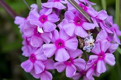 Life is short. Live vibrantly. (s.d.sea) Tags: flower pink bloom bright vivid vibrant colorful plants garden pentax k5iis 2470mm issaquah klahanie washington washingtonstate pnw pacificnorthwest