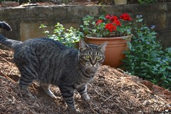 Camille, ankle-deep in mulch (rootcrop54) Tags: camille female mackerel tabby mulch bright red geranium light neko macska kedi 猫 kočka kissa γάτα köttur kucing gatto 고양이 kaķis katė katt katze katzen kot кошка mačka gatos maček kitteh chat ネコ