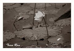 SHF_0025_Lotus (Tuan Râu) Tags: 1dmarkiii 14mm 100mm 135mm 1d 1dx 2470mm 2018 50mm 70200mm canon canon1d canoneos1dmarkiii canoneos1dx lotus hoasen bw black blackandwhite white sapie tuanrau tuan tuấnrâu2018 râu httpswwwfacebookcomrautuan71