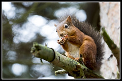 IMG_0058 Red Squirrel (Scotchjohnnie) Tags: redsquirrel sciurusvulgaris squirrel squirrelphotography rodent wildanimal wildlife wildlifephotography wildandfree nature naturephotography naturewildlifeandbirds canon canoneos canon7dmkii canonef70200mmf28lisiiusm scotchjohnnie mammal