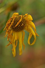 Withered Sunflower (pstenzel71) Tags: blumen natur pflanzen sunflower withered darktable flower bokeh topinambur