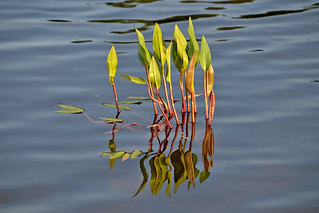 Reflections. Aquatic plants. Finland, summer.