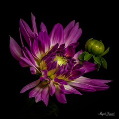 Dahlia (Magda Banach) Tags: canon canon80d sigma150mmf28apomacrodghsm blackbackground bud colors dahlia flora flower flowers green imperfection macro nature plants purple