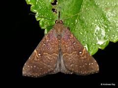 Litter Moth, Herminiinae (Ecuador Megadiverso) Tags: andreaskay birdwatcherslodge crambidae ecuador mindo moth pyralidae littermoth herminiinae