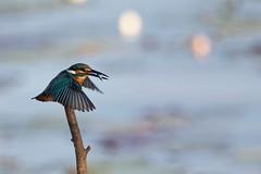 Common Kingfisher (Stu Price) Tags: commonkingfisher onuma