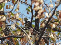 Hwange NP juvenile Crested Barbet (mstoecklin) Tags: hwange np juvenile crested barbet