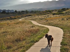 Walking the trails with Chelsea... (Jane Lazarz) Tags: briargate ramparttrails janeelizabethlazarz walkingcolorado nikon p900 nikonp900 coloradosprings colorado janelazarz photographybyjanelazarz breathtakingcolorado rampartpark walking hiking doodle dog labradoodle trails sunset pikespeak frontrange sidewalk grassland