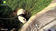 2018_09-07d (gkoo19681) Tags: beibei chubbycubby fuzzywuzzy adorableears demandingattention howdywindow wantingin beinggood toocute beingadorable patience darling precious ccncby nationalzoo