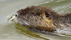 Nutria (2/3) : adult swimming fast (Franck Zumella) Tags: myocastor coypu ragondin eau castor rat water lake lac nager swim nutria red orange rouge teeth tooth dent animal wildlife cold froid fun funny amusant no non nonono ok human behaviour omg oh god laugh rire junior juvenile jeune baby food herbe grass green vert