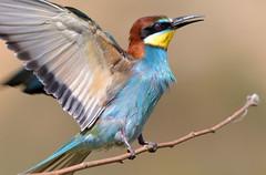 Perching (MoGoutz) Tags: scholari perching bird european beeeater merops apiaster σχολάρι μελισσοφάγοσ