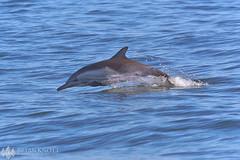 Common Dolphin (Brian Knott Photography) Tags: dolphin dolphins commondolphin commondolphins sealife mammal wildlife jumping water ocean sea pacific whalewatching dolphinpod pod california newportbeach huntingtonbeach coast californiacoast coastal boat ship