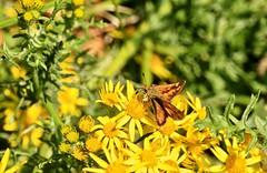 Woodland Skipper (Ochlodes sylvanoides) (manzanita-pct) Tags: hesperiidae butterflies insects oregon