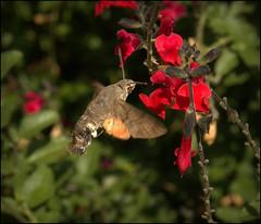 Hummingbird hawk-moth (catb -) Tags: france saintcyprien hummingbirdhawkmoth macroglossumstellatarum insect moth macro