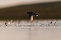 ''Au grès du vent!'' Pluvier semipalmé-Semipalmated plover (pascaleforest) Tags: oiseau bird animal passion nikon nature wild wildlife faune îlesdelamadelaine québec limicole canada