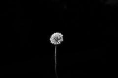 High Contrast (liamfoden) Tags: 1d mk3 mkiii canon dandilion contrast black white blackandwhite zoom lens dark light summer sun flower seeds