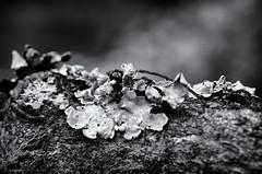 lichen (sure2talk) Tags: lichen texture naturaltexture nikond7000 nikkor85mmf35gafsedvrmicro macro closeup blackandwhite shallowdof