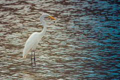 Great egret (sniggie) Tags: ardeaalba ardeidaefamily kos birding fish greategret wildbird taylorsvillelake spencercounty kentucky catch