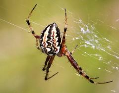 Bordered Orbweaver. Neoscona adianta  Araneidae (gailhampshire) Tags: bordered orbweaver neoscona adianta araneidae taxonomy:binomial=neosconaadianta