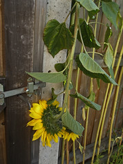 Damaging Wind:     264/365 (amandabhslater) Tags: sunflower broken wind fence gate leaves 2018aphotographicdiary