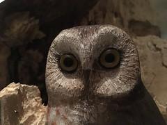 O_O (jessamyn) Tags: huntingtonvt vermont birds birdsofvermont owl